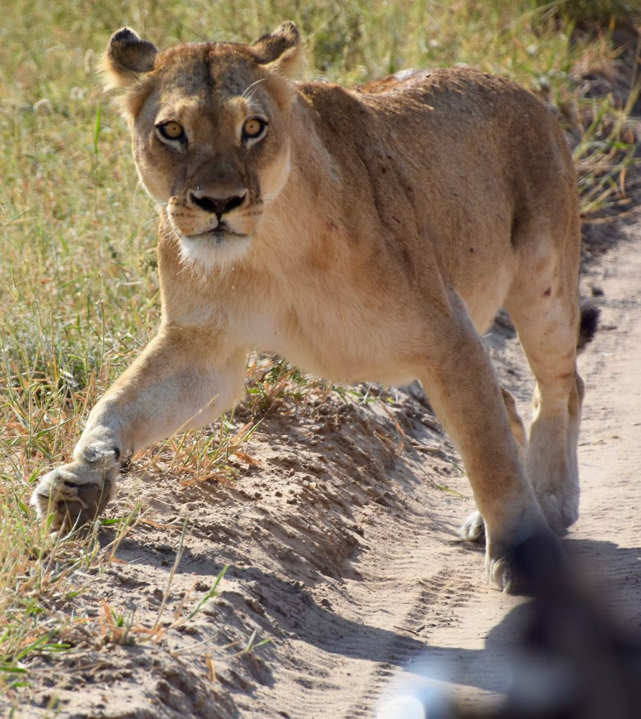 a lioness crossing the road in south africa safari