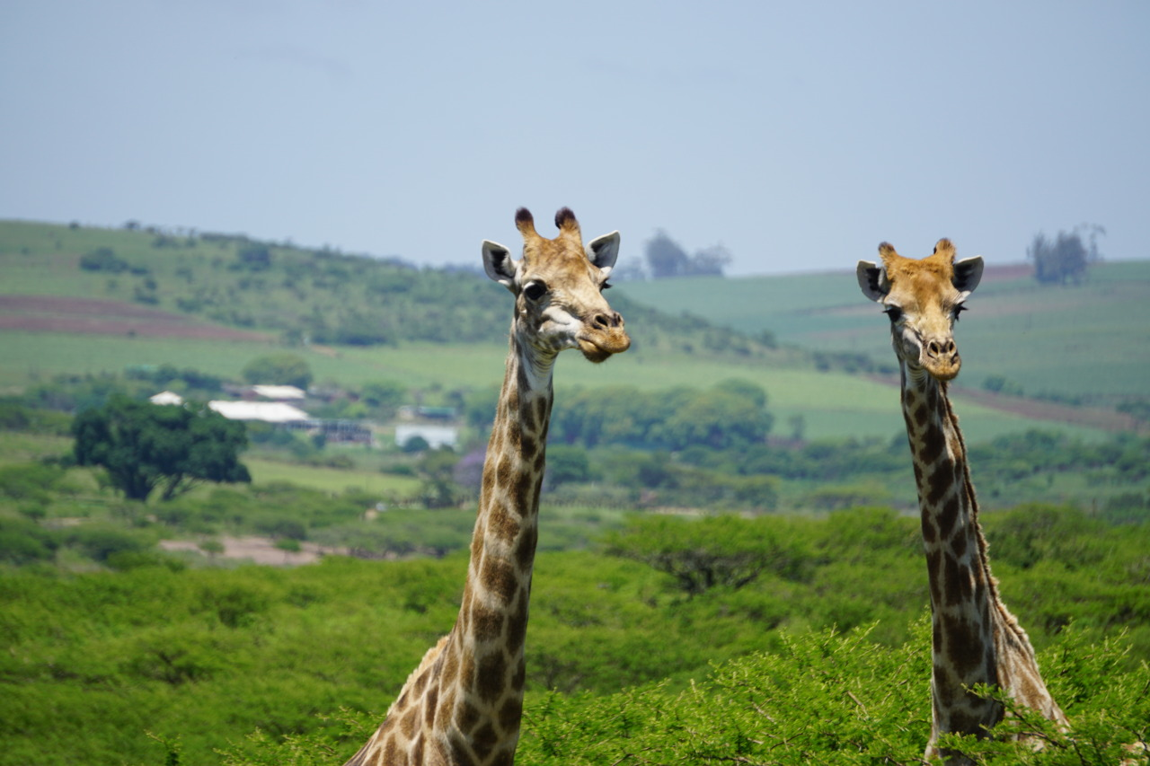 two giraffes with their heads and necks sticking above the treetops and a green hill inthe background